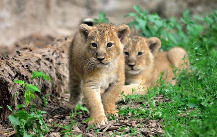 Roma: Nati al Bioparco due cuccioli di leone asiatico