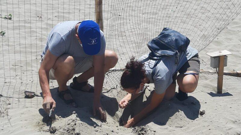 Il nido di Tartaruga Caretta caretta a Torvaianica